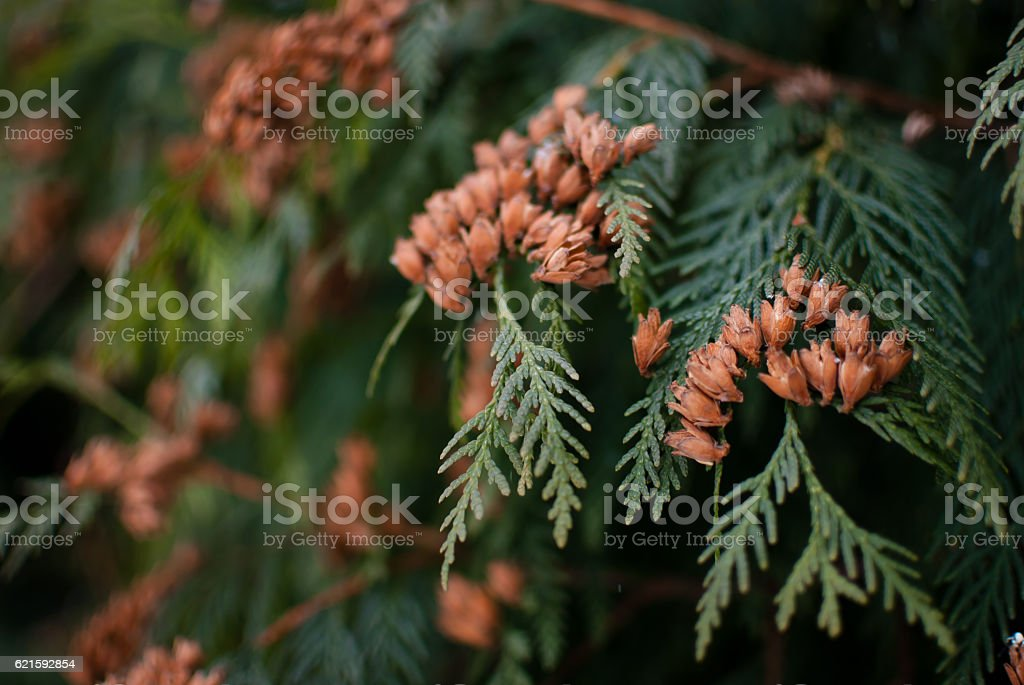 Green branches of the white cedar tree. Winter early morning stock photo