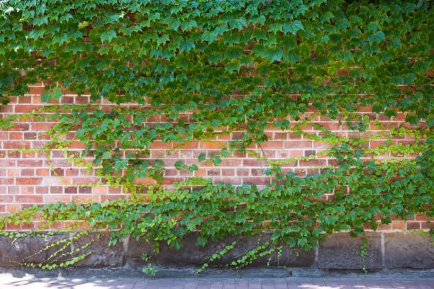 grüne mauer mit efeu blätter. ökologischen hintergrund, textfreiraum. - steine für gartenmauer stock-fotos und bilder
