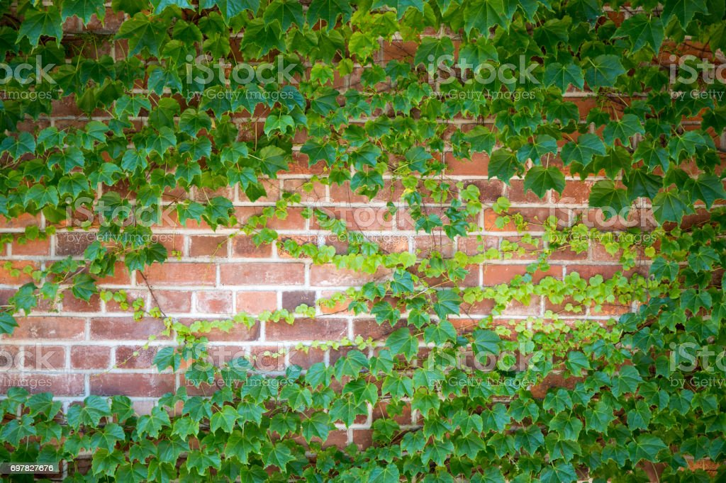 Green brick wall with ivy leaves. Ecological background, copy space. stock photo
