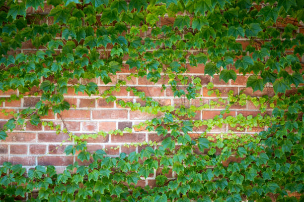 green brick wall with ivy leaves. ecological background, copy space. - ivy building imagens e fotografias de stock