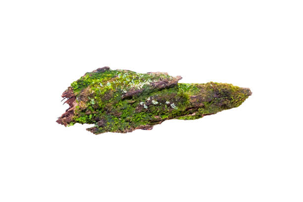 Green bright fresh moss grows on a piece of old rotten wood, Green bright fresh moss grows on a piece of old rotten wood, isolated on white background, close-up moss stock pictures, royalty-free photos & images