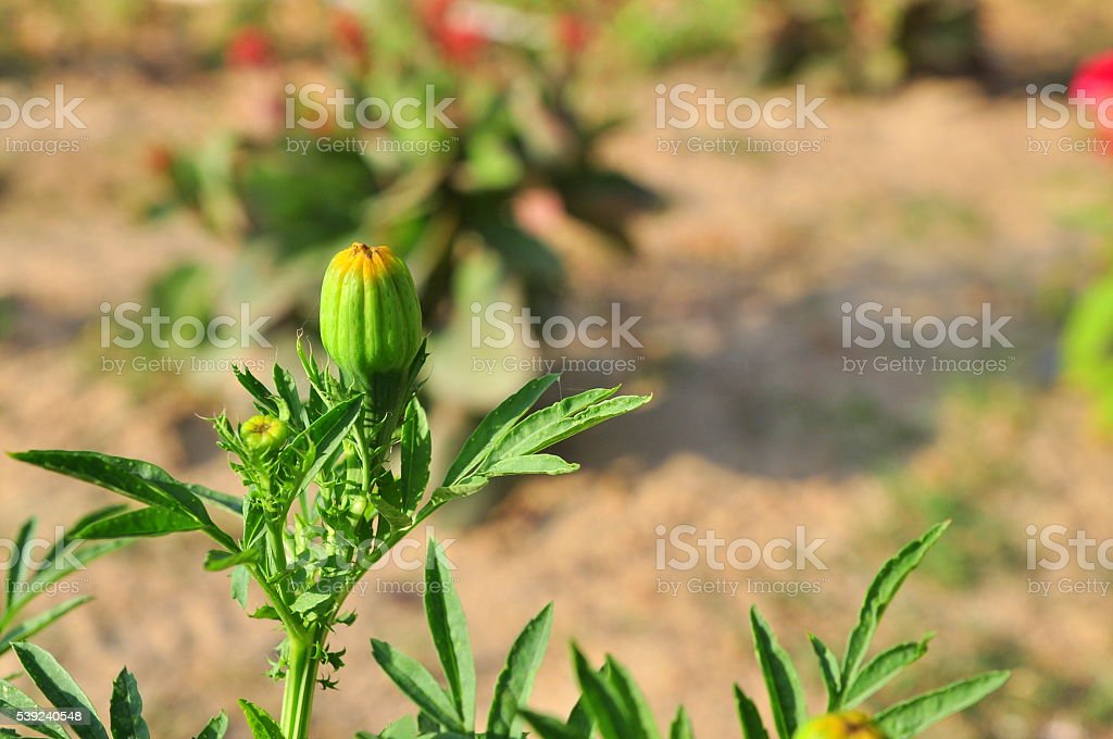 Green bud in the sun royalty-free stock photo