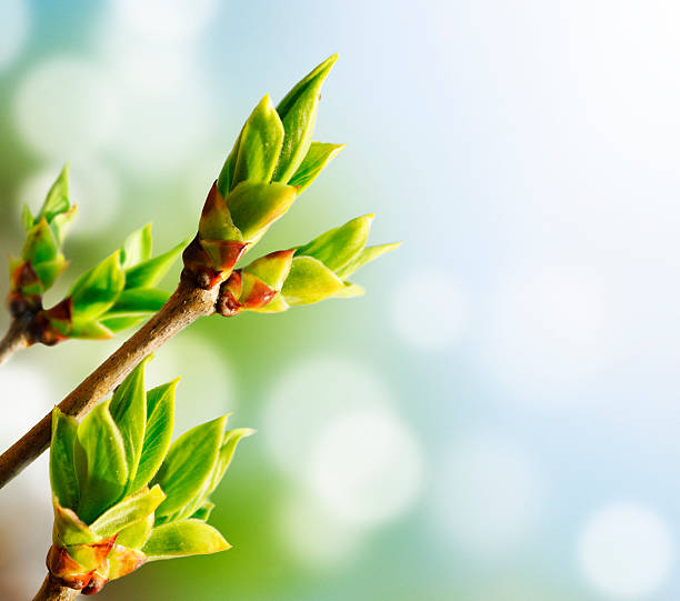 green bud - bud stock pictures, royalty-free photos & images