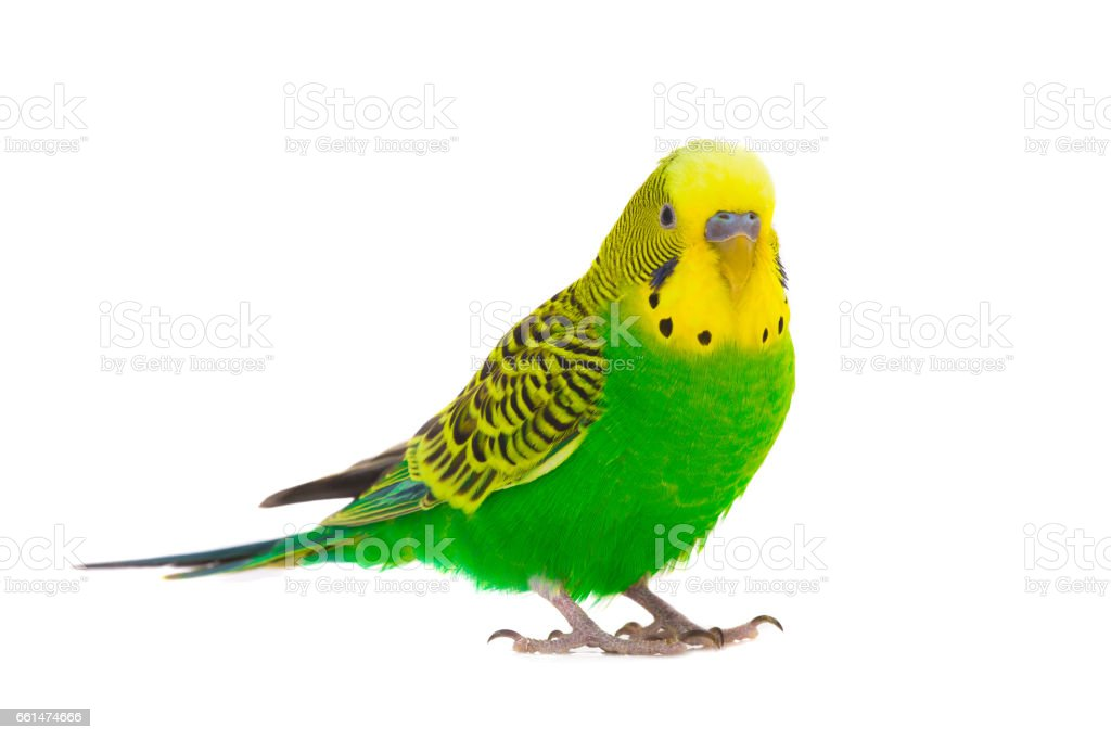 green budgie stock photo