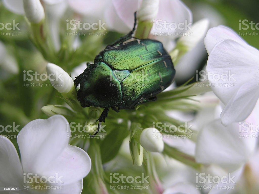Green bug on flower royaltyfri bildbanksbilder