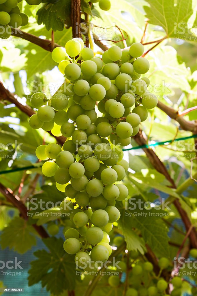 Green bunch of grapes royalty-free stock photo