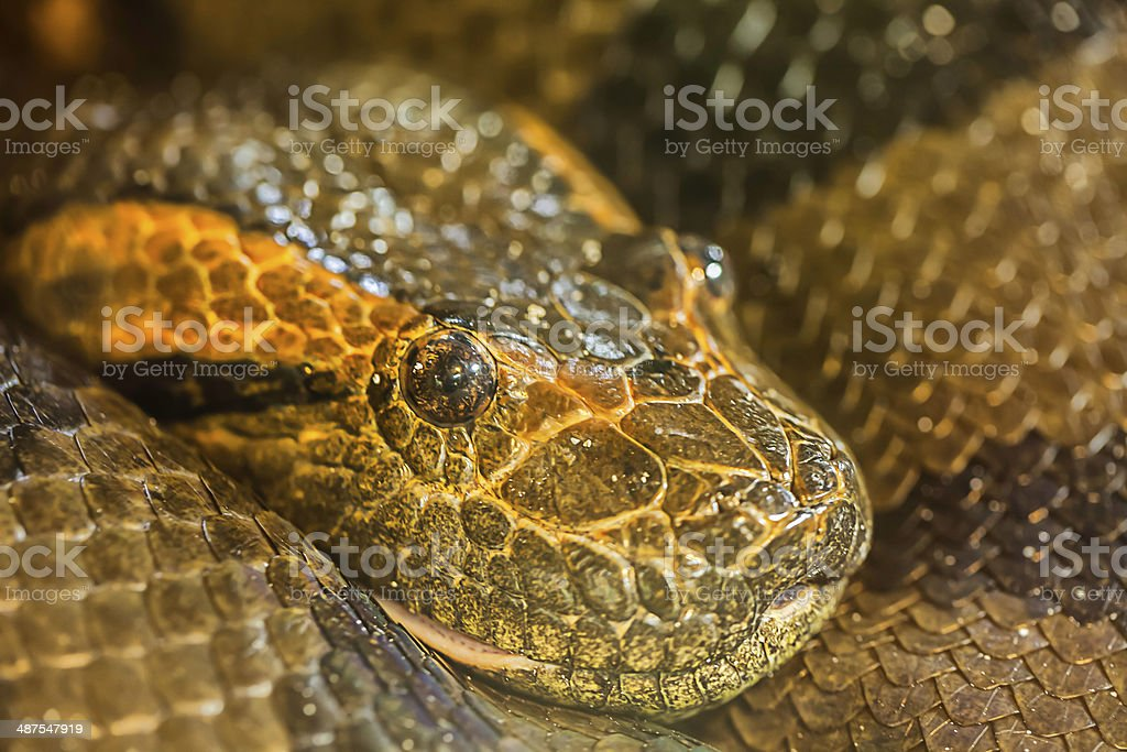 green burmese python royalty-free stock photo