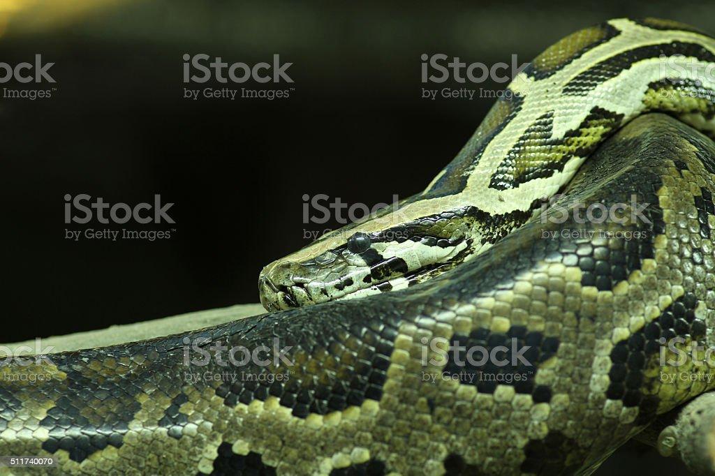 Green Burmese Python stock photo