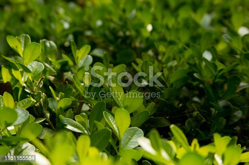 istock green bush background for text 1151155584
