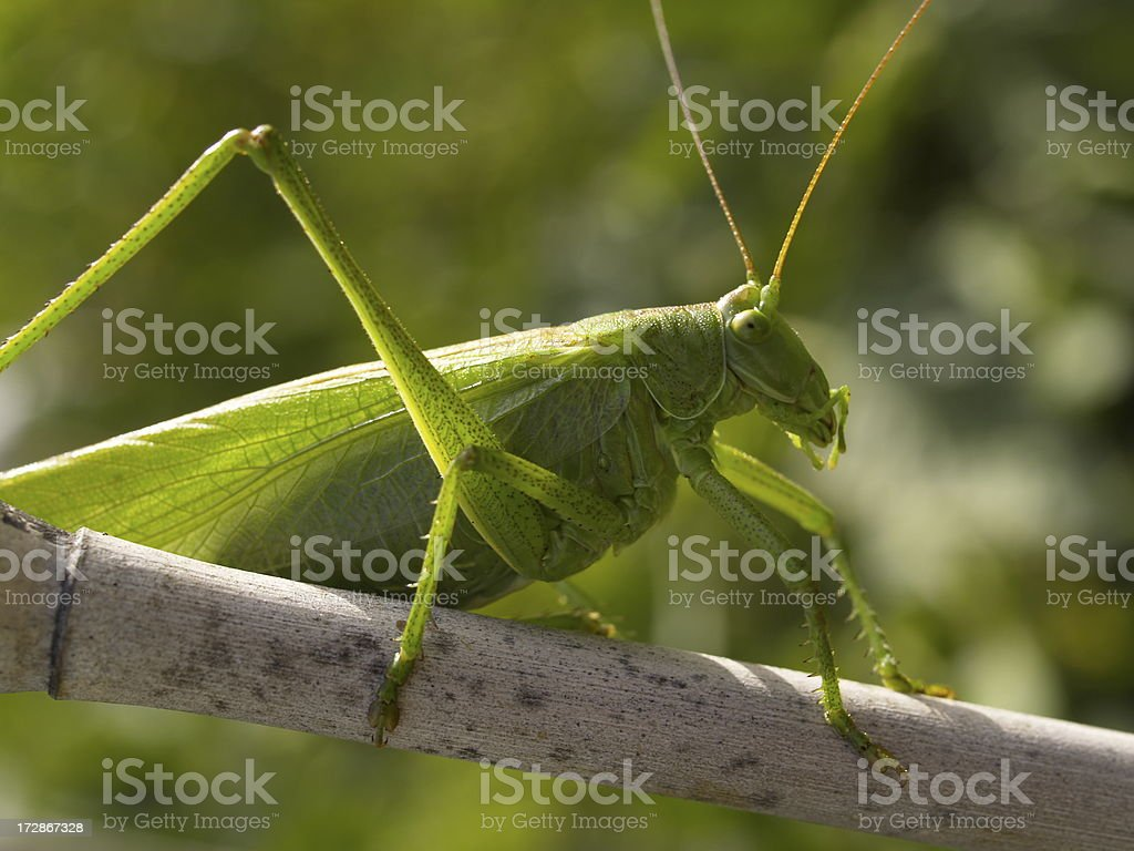 green bush cricket stock photo