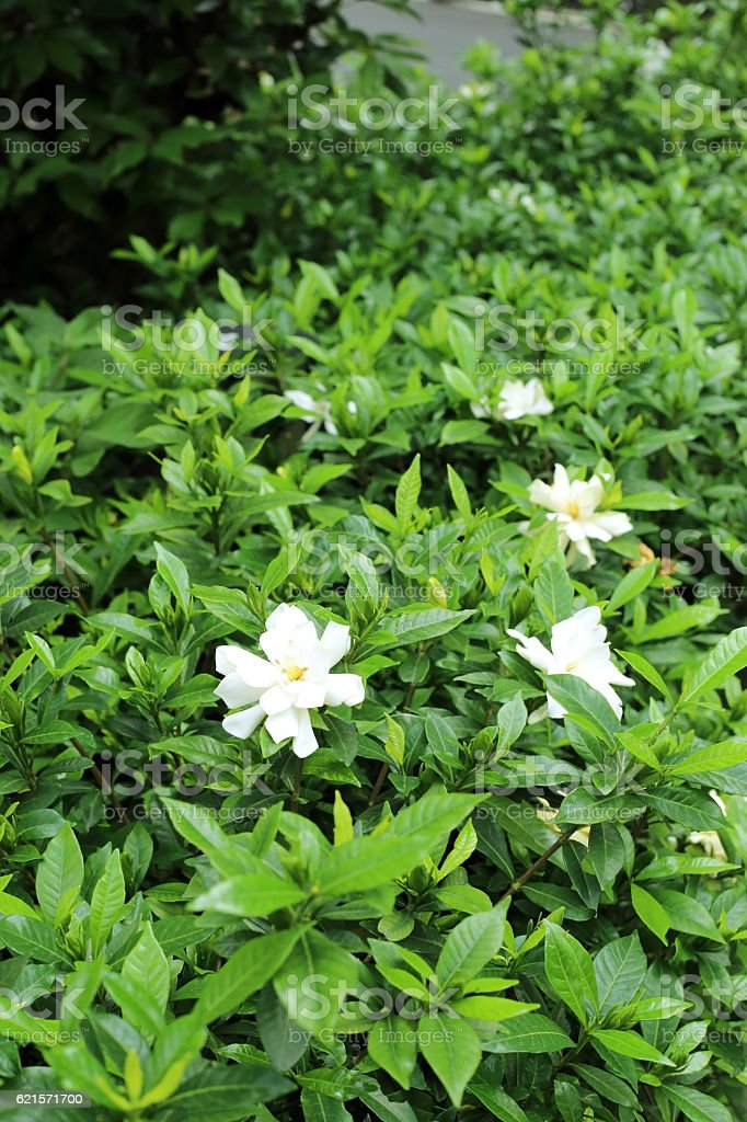Green bush in flowerbed with Gardenia jasminoides (Cape jasmine) flower. photo libre de droits