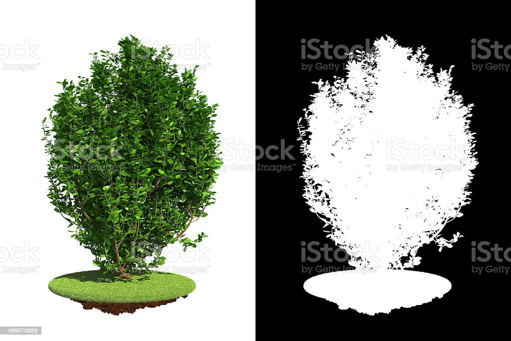 Green bush isolated on a white background stock photo