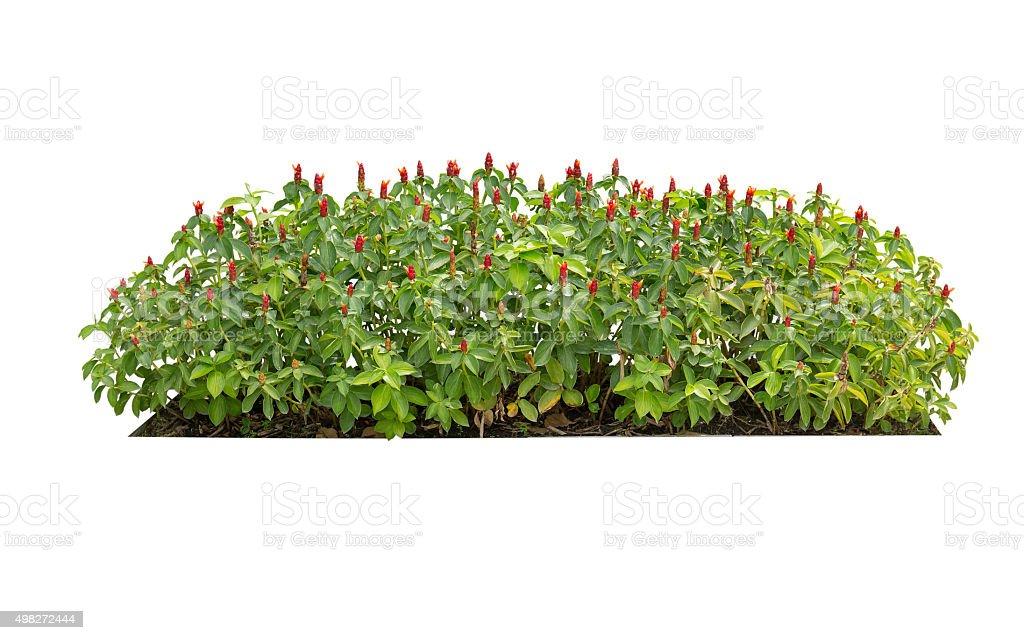 green bush isolated stock photo