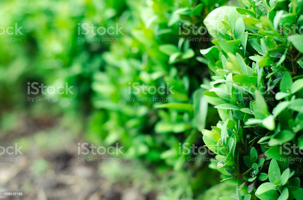 Green bush leaves wall background royalty-free stock photo