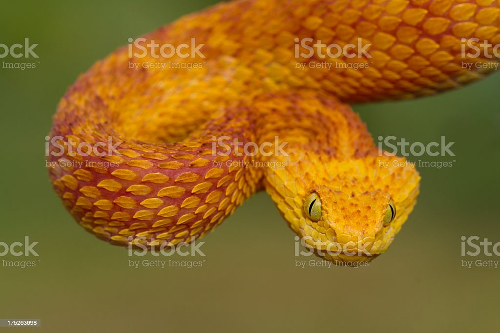 Green Bush Viper - Red Variation stock photo