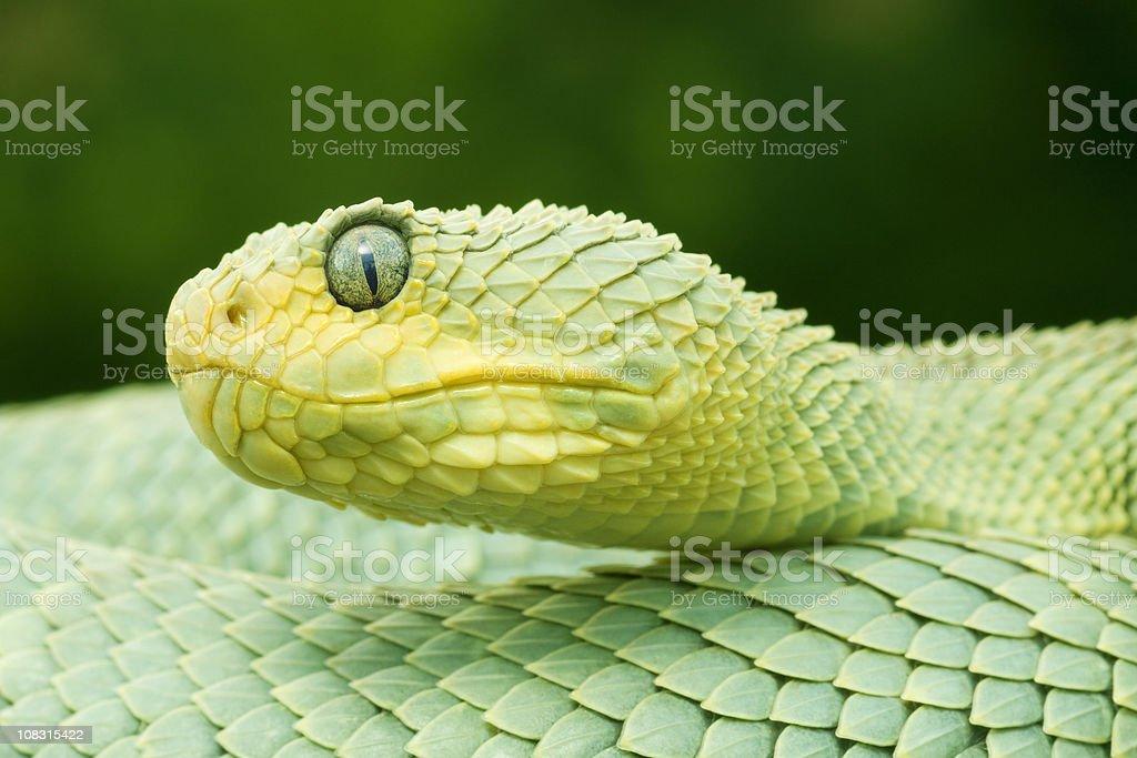 Green Bush Viper Snake royalty-free stock photo