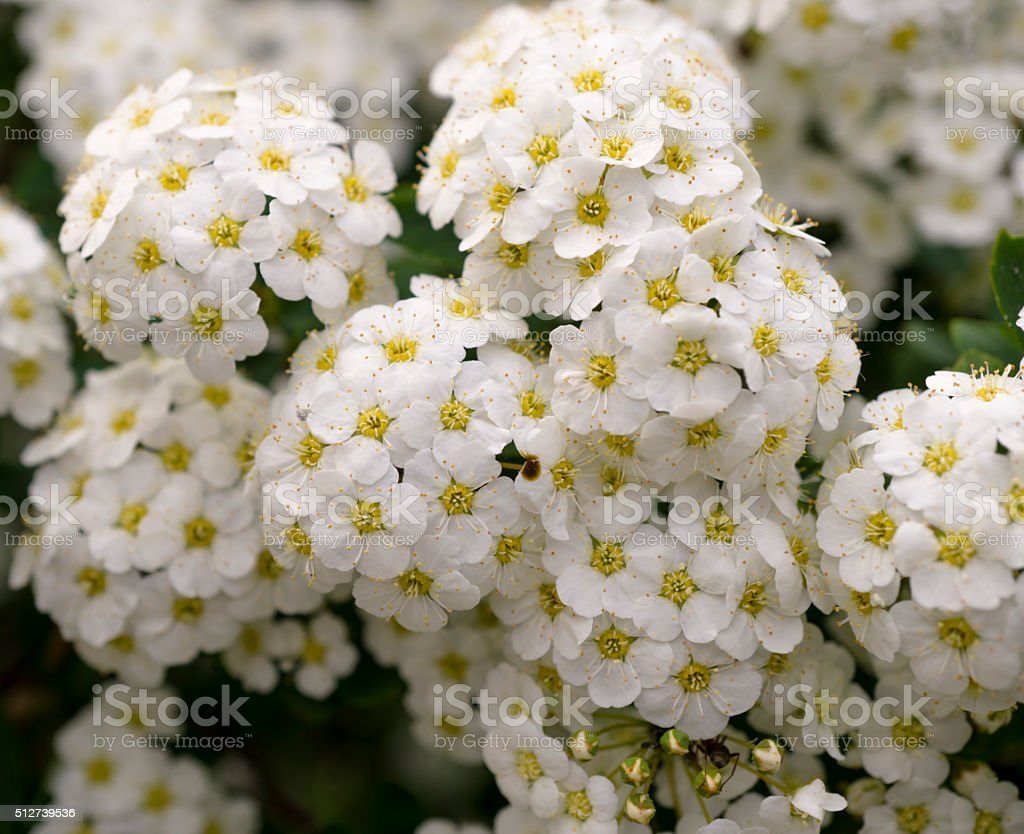 Green Bush With Clusters Of White Flowers Background Stock Photo