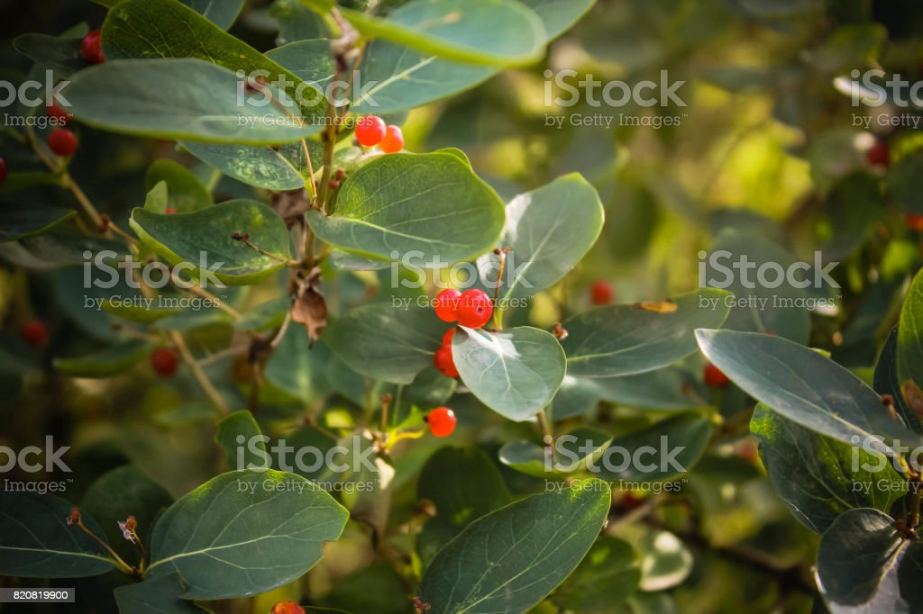 Green Bush With Red Berries Plant With Fruits Stock Photo