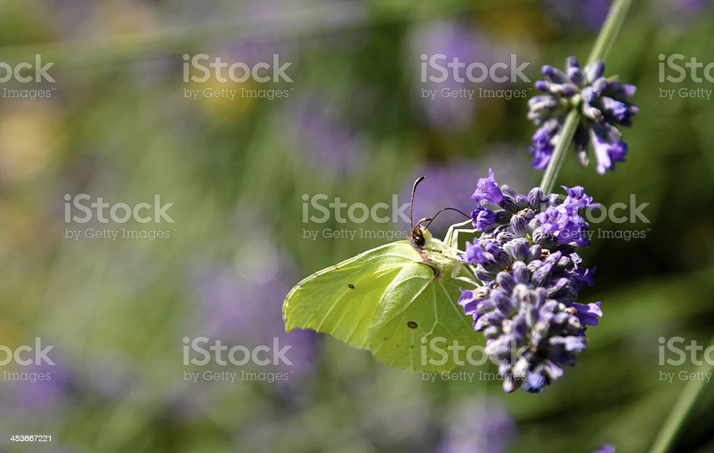 green butterfly on lavender royalty-free stock photo