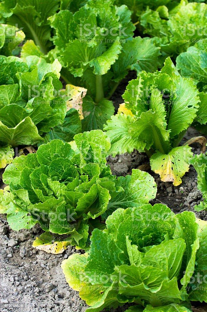 Green Butterhead Salad on Field stock photo