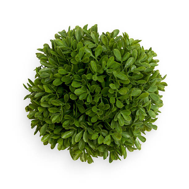Green Buxus Ball stock photo