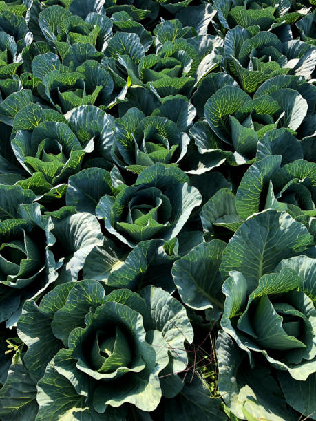 Green cabbage cultivation stock photo