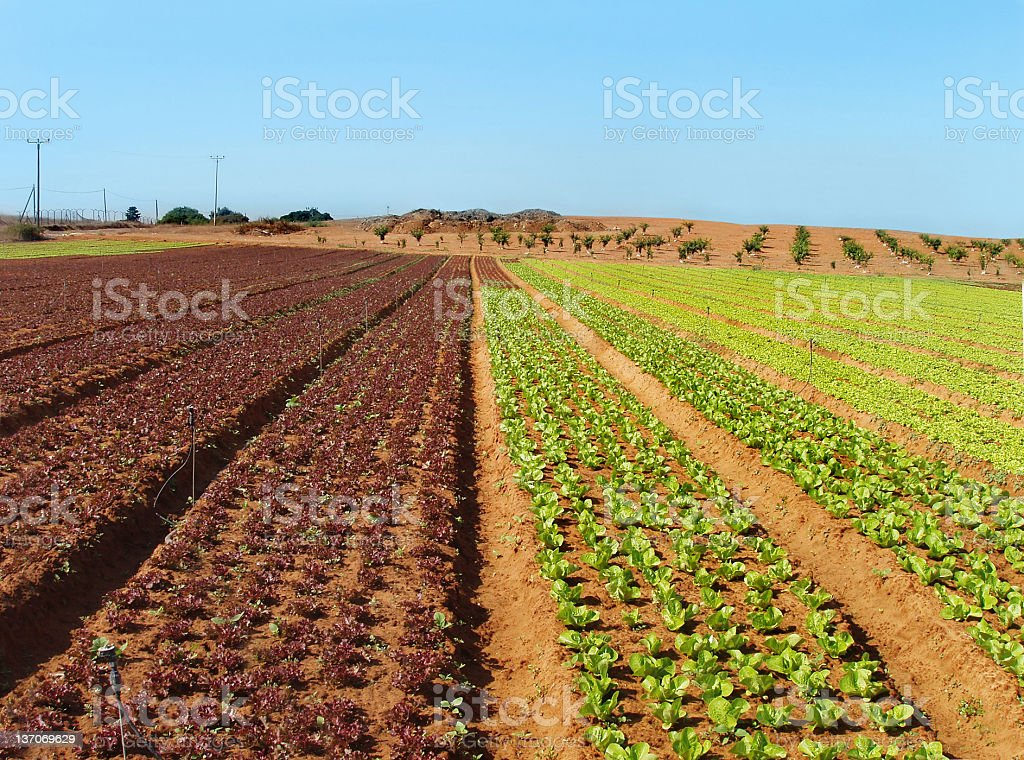 Green cabbage field stock photo