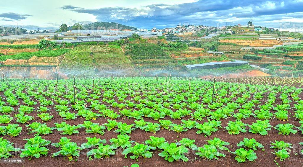 Green cabbage garden welcomes early sun Lizenzfreies stock-foto