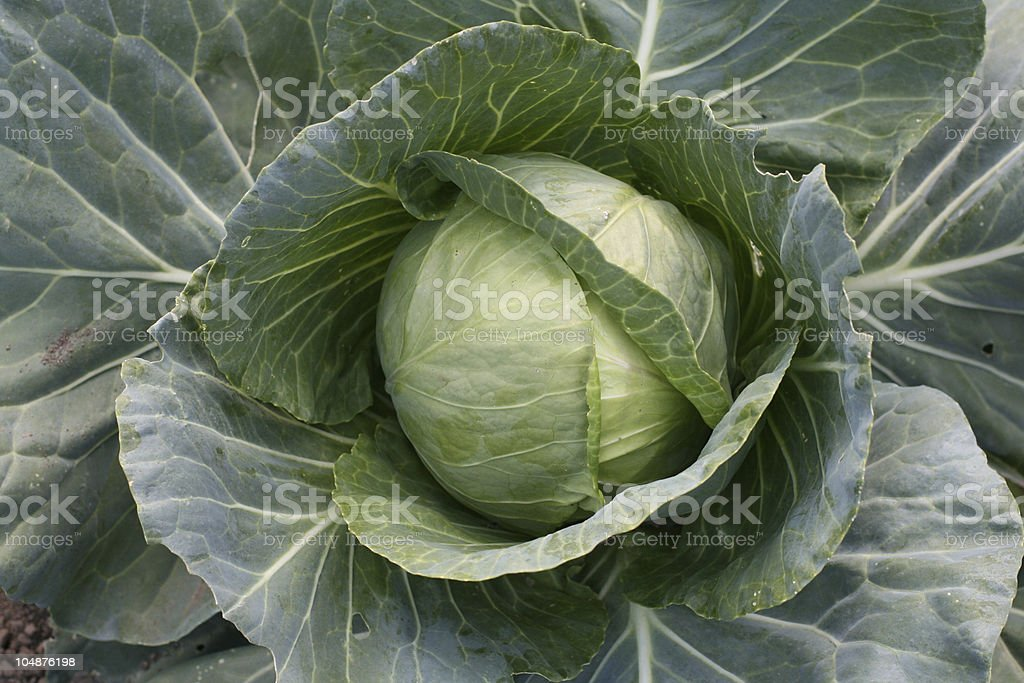 Green cabbage head royalty-free stock photo