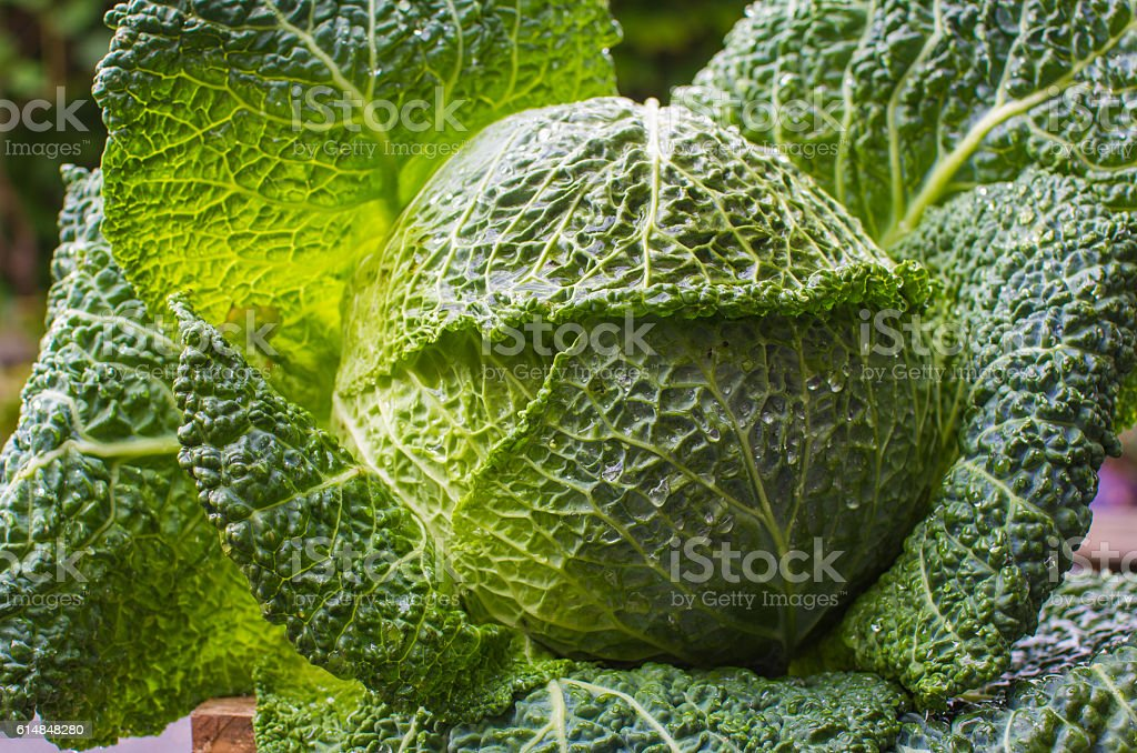 Green cabbage in garden after rain stock photo