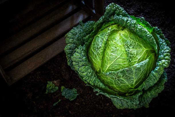 repolho verde no jardim vegetal - repolho verde - fotografias e filmes do acervo