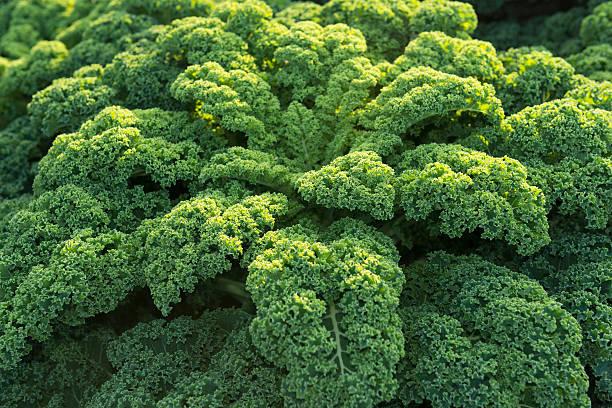 repolho verde (mostarda oleracea var. sabellica l.  ) - repolho verde - fotografias e filmes do acervo
