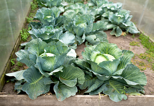 green cabbage plant field outdoor in summer agriculture vegetables.