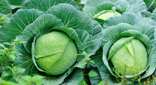 Green cabbages in growth at vegetable garden stock photo