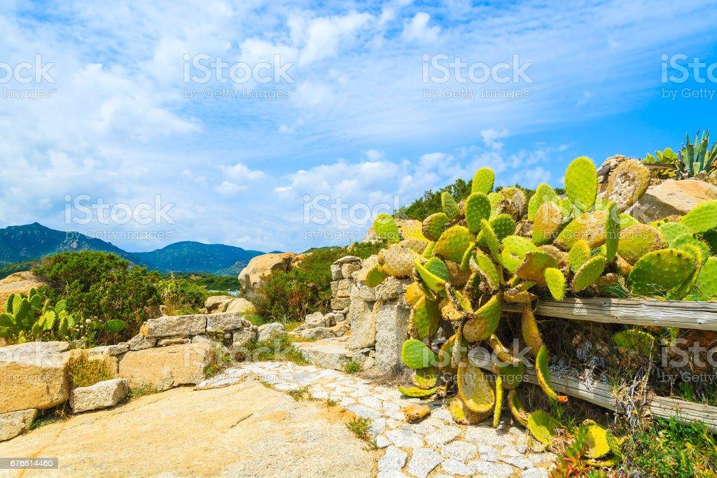 Green cacti flowers growing on coast of Sardinia island near Campulongu beach, Italy stock photo