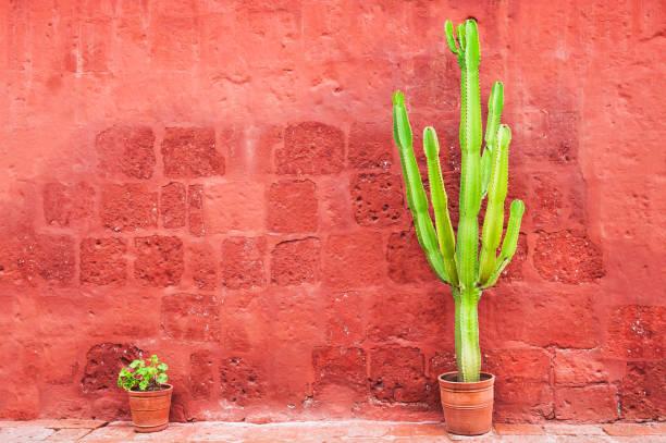 grüner kaktus gegen die rote wand - blumentopf groß stock-fotos und bilder