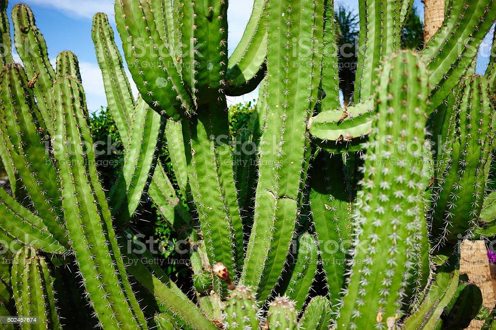 Green cactus at sunset on Canaries - Cereus stock photo