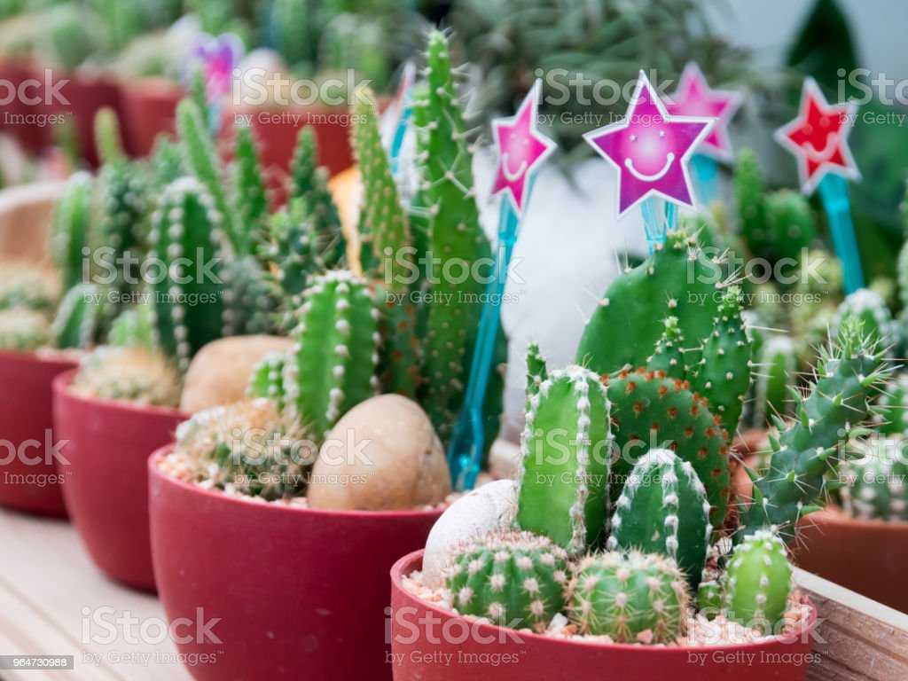 Green cactus in a pot royalty-free stock photo