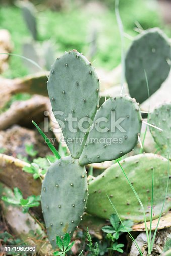 909651510istockphoto Green cactus leaves with thorn background. spring time 1171965960