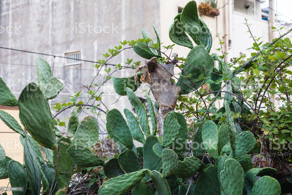 green cactus n Giardini Naxos town stock photo