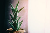 green cactus on table