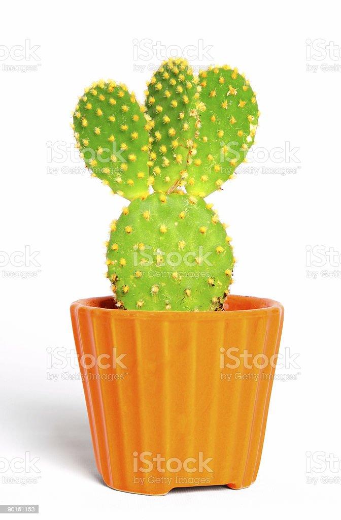 Green cactus opuntia royalty-free stock photo
