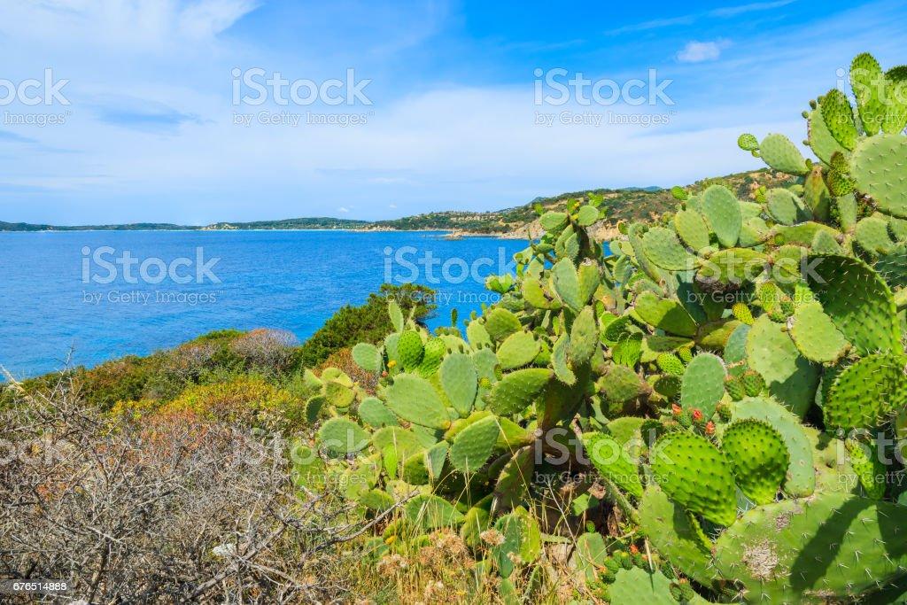 Green cactus plants growing on coast of Sardinia island at Punta Molentis bay, Italy stock photo
