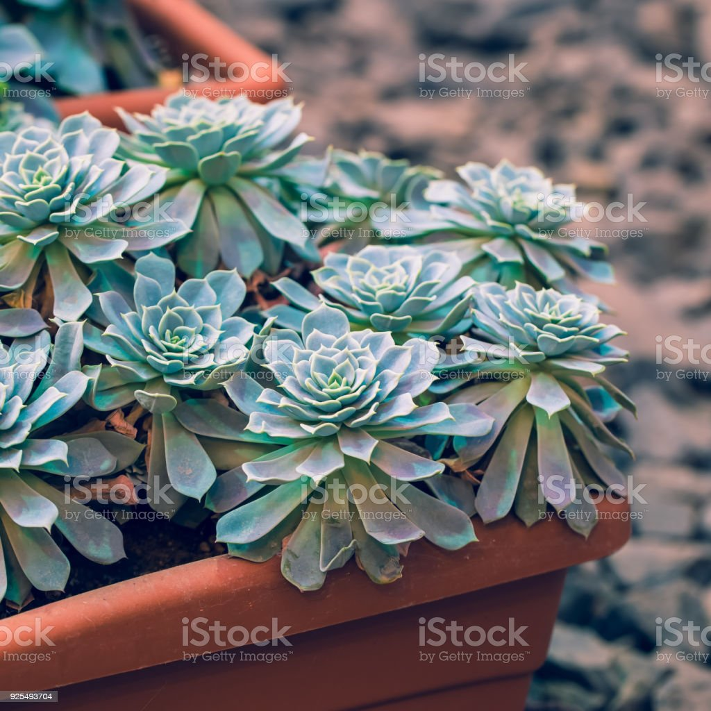 Green Cactus Potted On Rustic Stone Background Toned Vintage Royalty Free Stock Photo