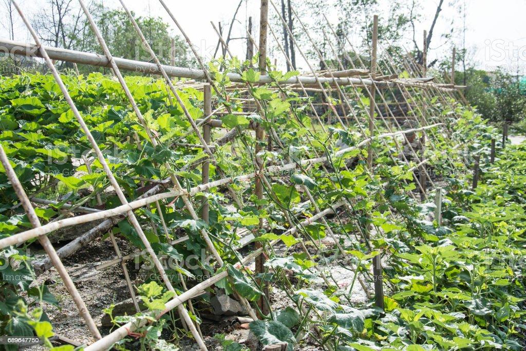 Cabaça verde na agricultura jardim, tailandês - foto de acervo