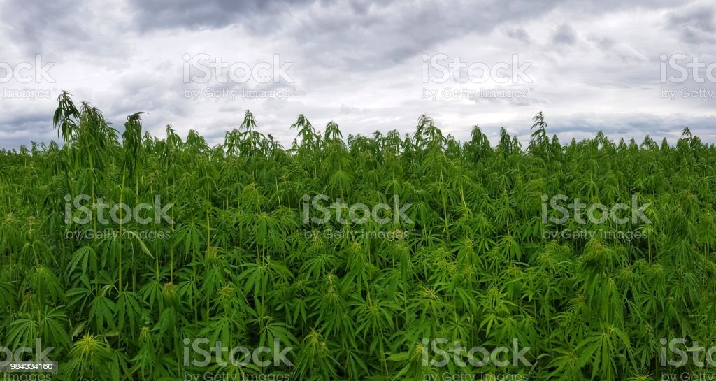 green canabis on marihuana field farm stock photo