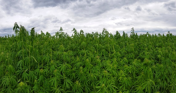 Green Canabis On Marihuana Field Farm Stock Photo - Download Image Now