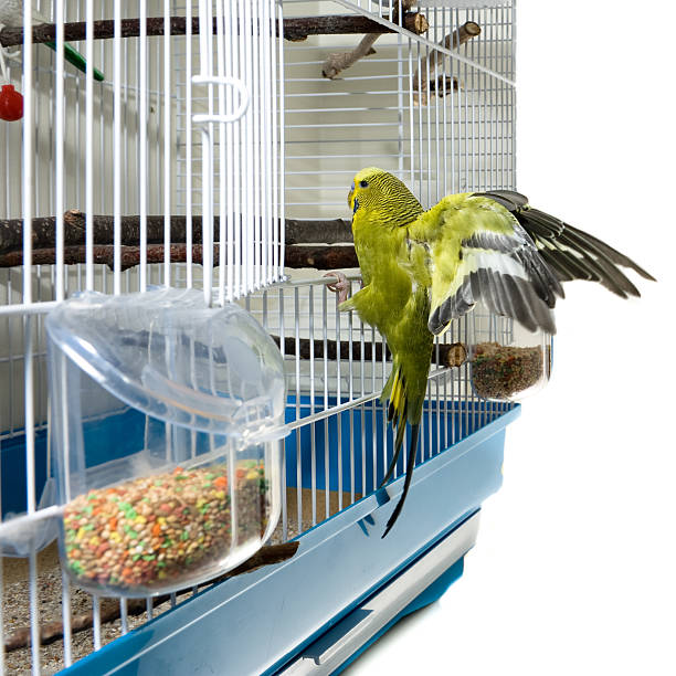 Green canary lands on entrance to its cage