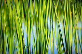 green cane abstract natural background