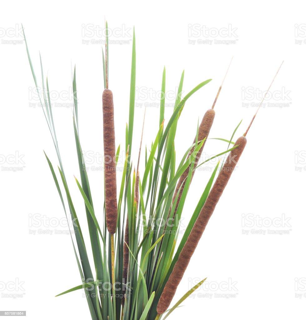 Green cane. stock photo